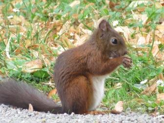Eichhörnchen Schlosspark Mainau